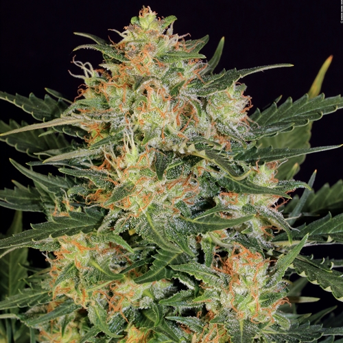 Serious Seeds Autoflowering White Russian #1