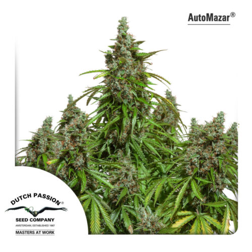 Dutch Passion Auto Mazar