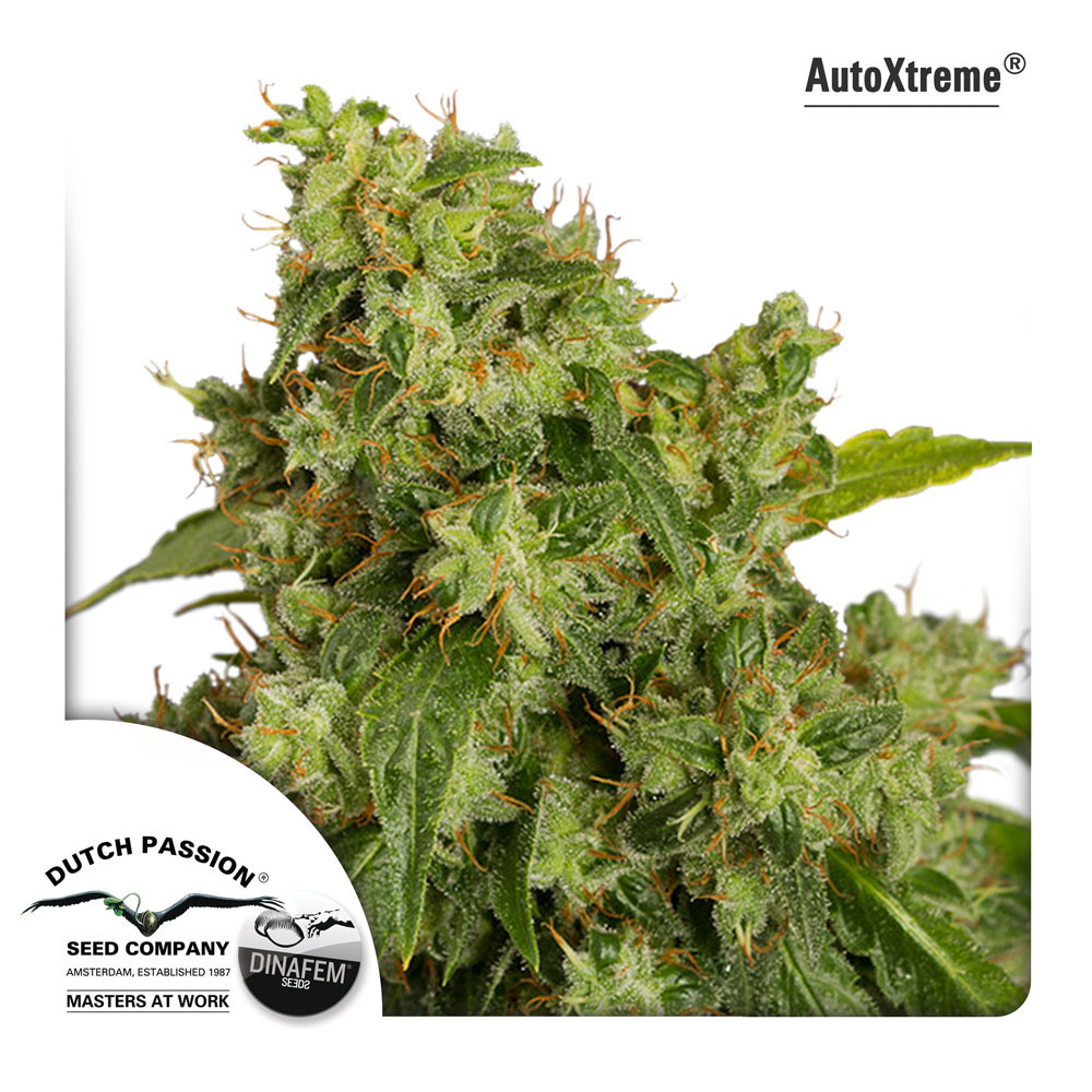 Dutch Passion Auto Xtreme
