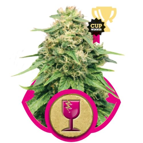 Royal Queen Seeds Critical Fem