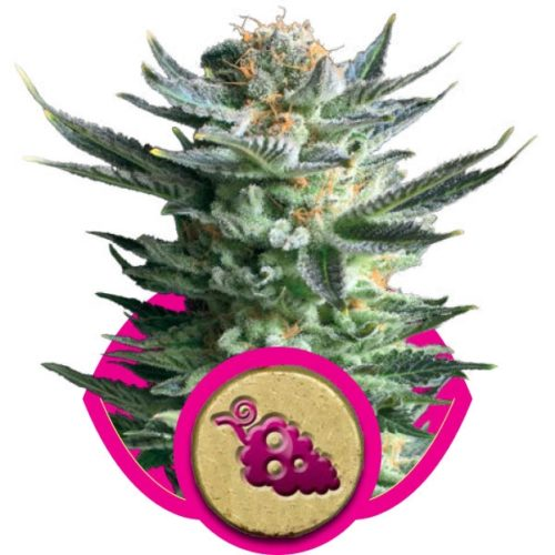Royal Queen Seeds Fruit Spirit Fem