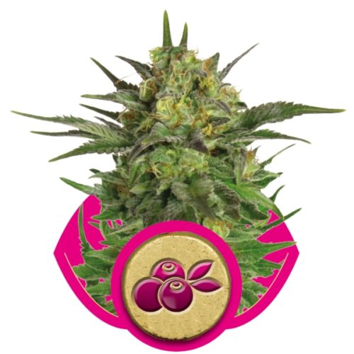 Royal Queen Seeds Haze Berry Fem