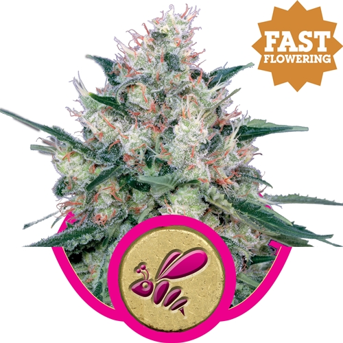 Royal Queen Seeds Honey Cream Fem (FAST FLOWERING)
