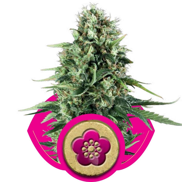 Royal Queen Seeds Power Flower Fem