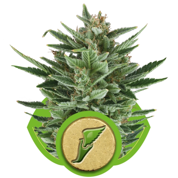 Royal Queen Seeds Quick One Autoflowering Cannabis seeds