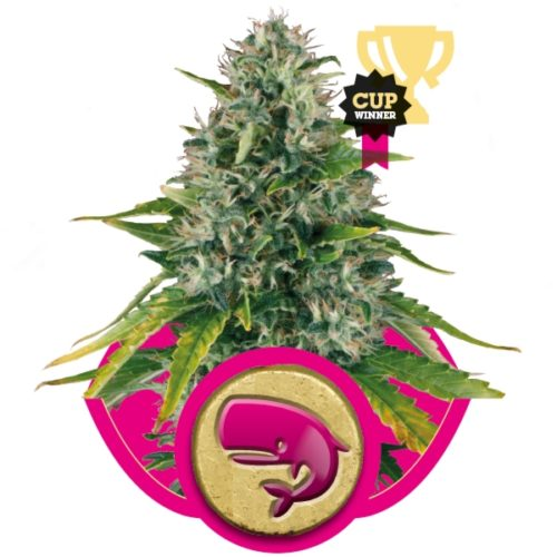 Royal Queen Seeds Royal Moby Fem-412