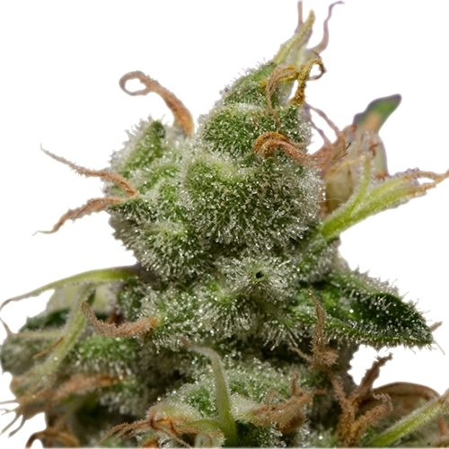 Royal Queen Seeds Ice Cannabis