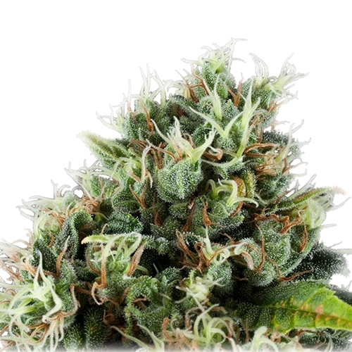 Royal Queen Seeds Power Flower Feminised Cannabis Bud