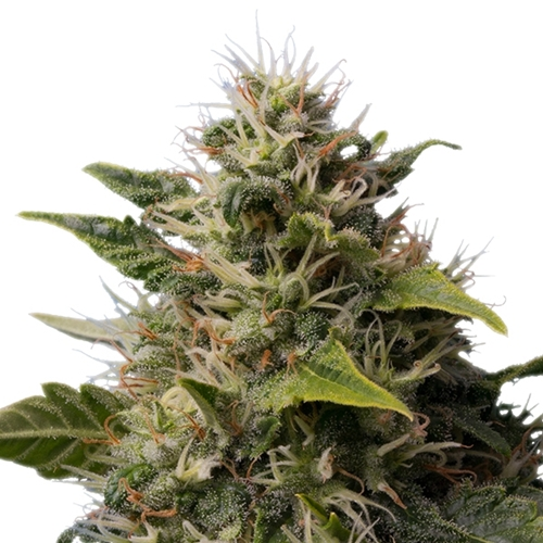 Royal Queen Seeds Royal Moby Bud