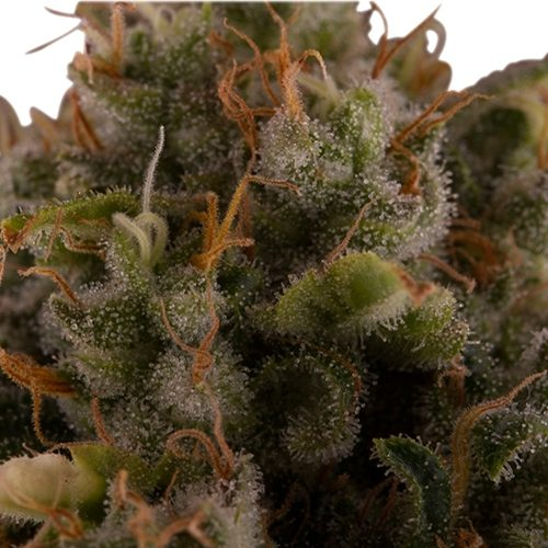 Royal Queen Seeds Royal Moby Bud up close