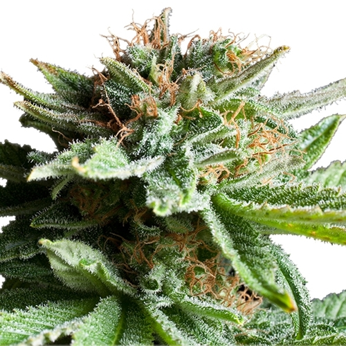 Royal Queen Seeds Shining Silver Haze Feminised Cannabis Bud