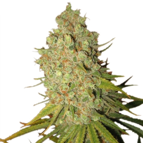 Royal Queen Seeds Special Kush 1 Bud