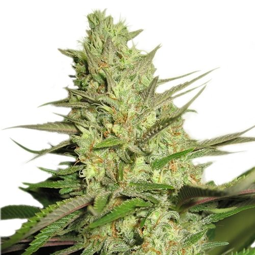 Royal Queen Special Queen Bud