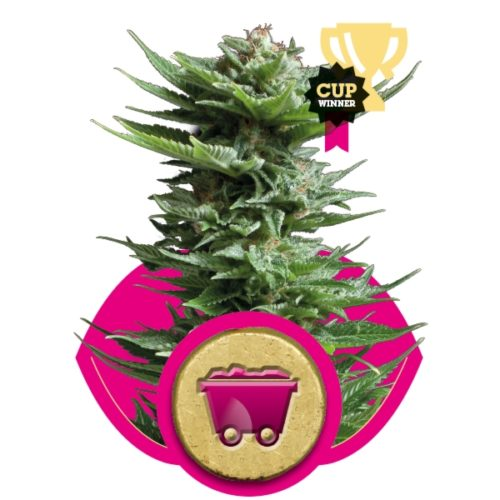 Royal Queen Seeds Shining Silver Haze Fem