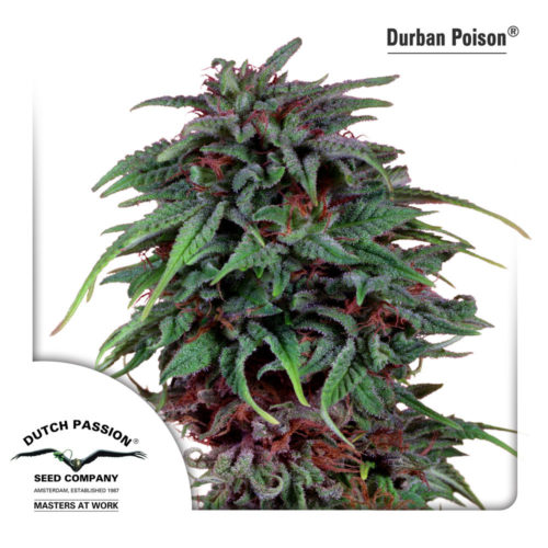 Dutch Passion Durban Poison
