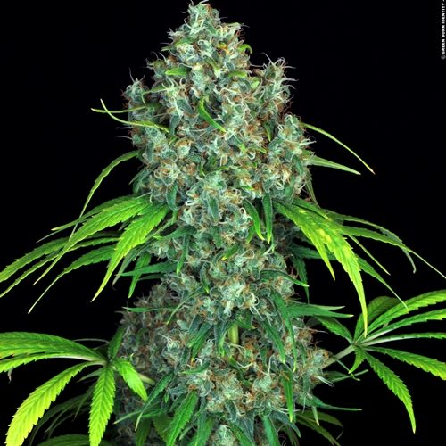 Serious Seeds Double Dutch Cannabis Seeds