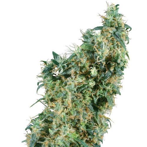 Sensi Seeds First Lady Regular Cannabis Seeds