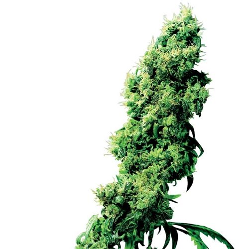 Sensi Seeds Four-Way Regular Cannabis Seeds