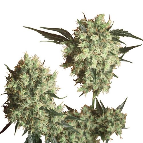 Sensi Seeds Marley's Collie Regular Cannabis Seeds