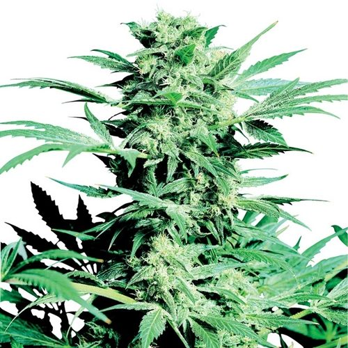 Sensi Seeds Shiva Skunk Regular Cannabis Seeds