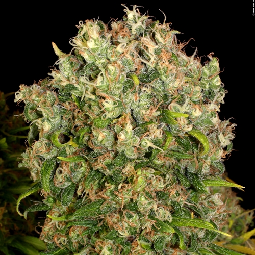 Serious Seeds Warlock Cannabis Seeds