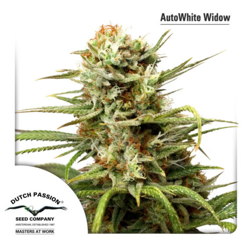 Dutch Passion AutoWhite Widow Fem