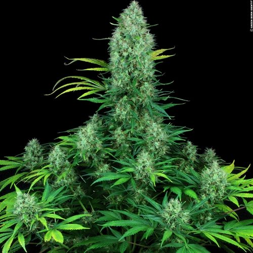 Serious Seeds Serious 6 Feminised Cannabis Seeds