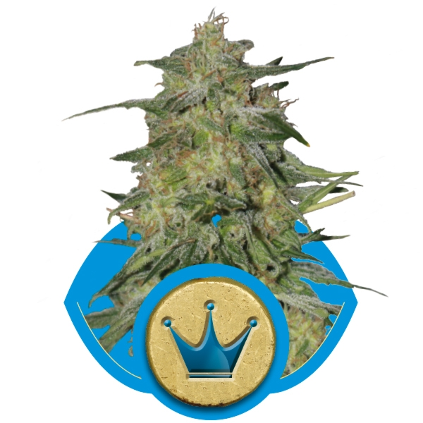 Royal Queen Seeds Royal Highness Fem