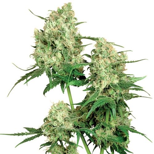 Sensi Seeds Maple Leaf Indica Regular