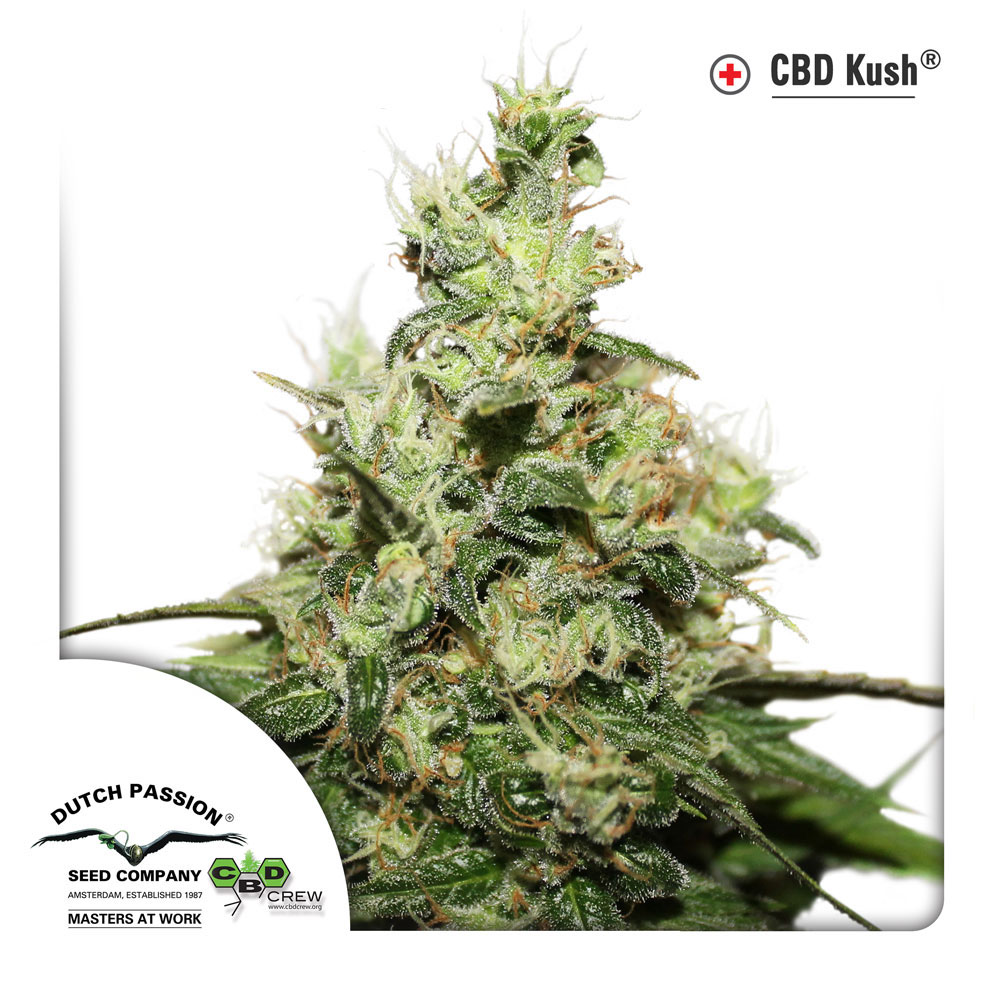 Dutch Passion CBD Kush Feminised Cannabis Seeds