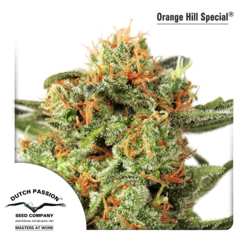 Dutch Passion Orange Hill Special