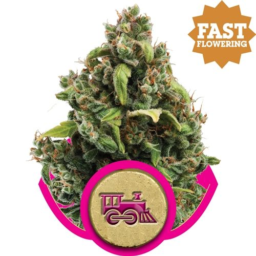 Royal Queen Seeds Candy Kush Express Fem (FAST FLOWERING)