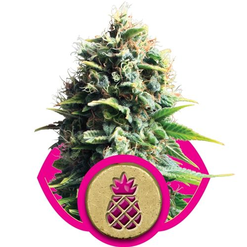 Royal Queen Seeds Pineapple Kush Fem