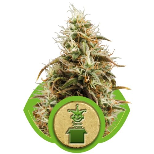 Royal Queen Seeds Royal Jack Automatic Fem