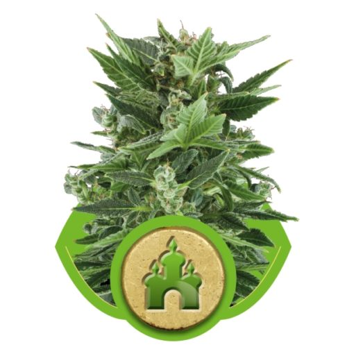 Royal Queen Seeds Royal Kush Automatic Fem