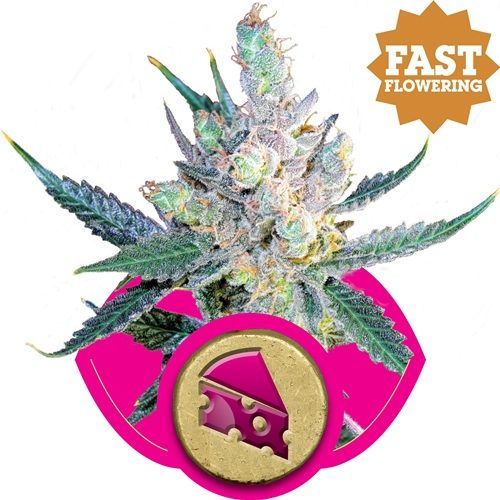 Royal Queen Seeds Royal Cheese Fem (FAST Flowering)