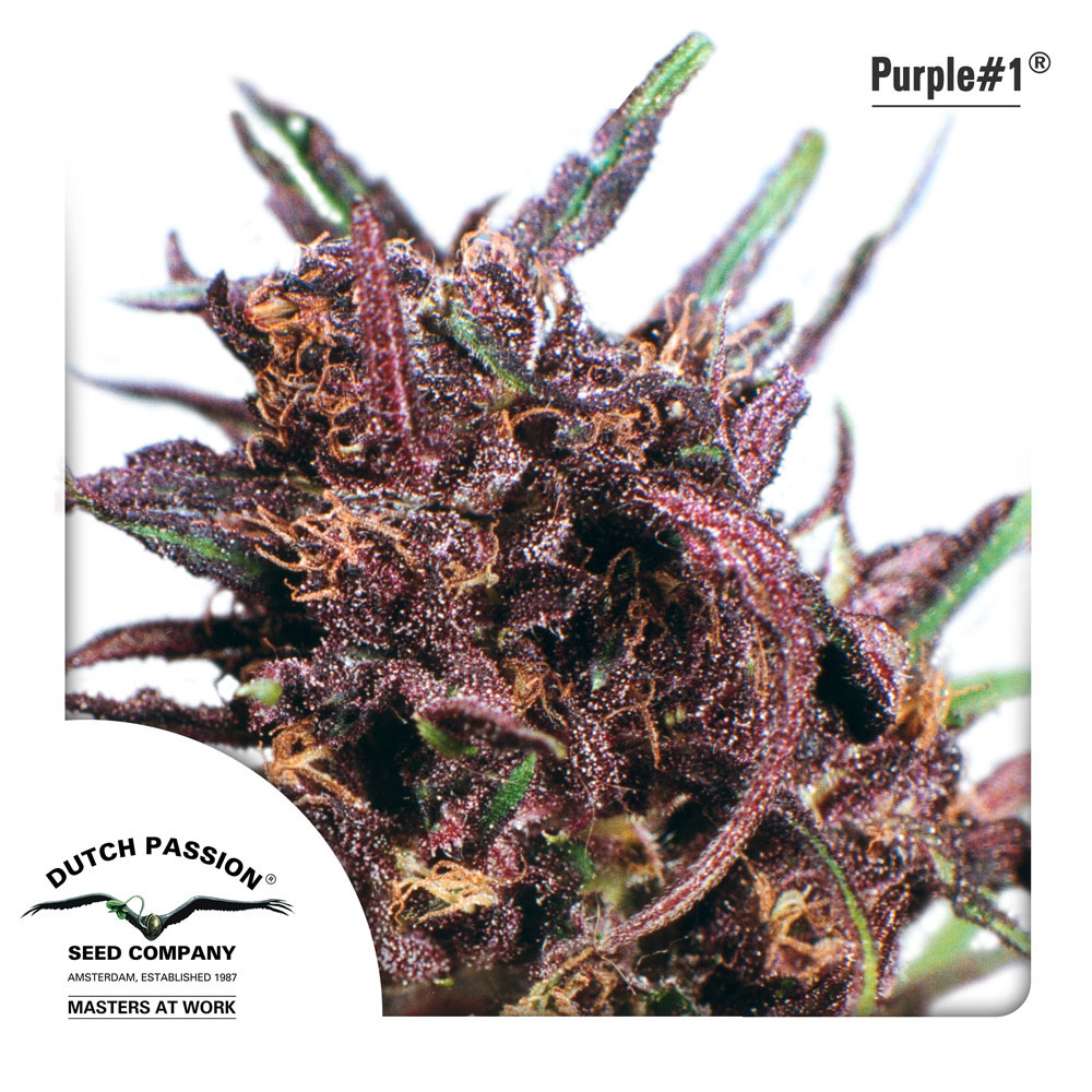 Dutch Passion Purple #1