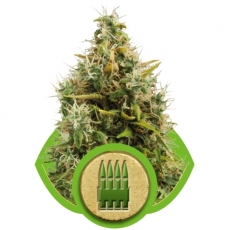 Royal Queen Seeds AK Automatic