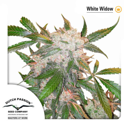 Dutch Passion White Widow
