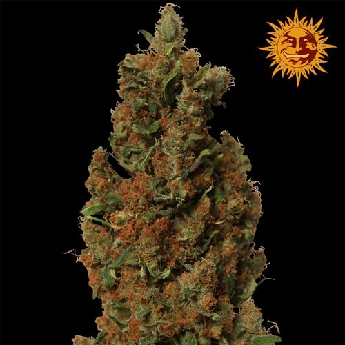 Barney's Farm Red Diesel