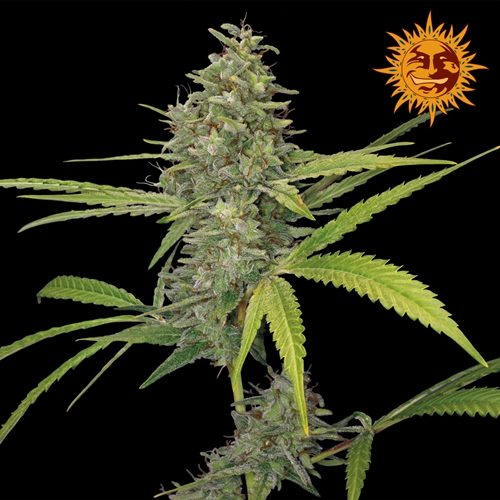 Barneys Farm G13 Haze Feminised Cannabis Seed