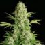 Serious Seeds White Russian Feminised