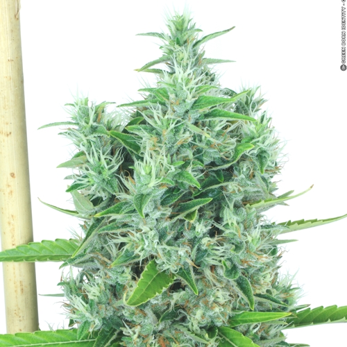 Serious Seeds Kali Mist Cannabis Seeds