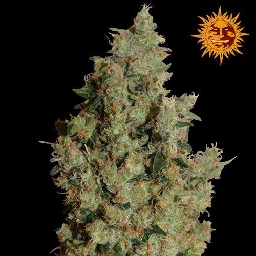 Barneys Farm Tangerine Dream