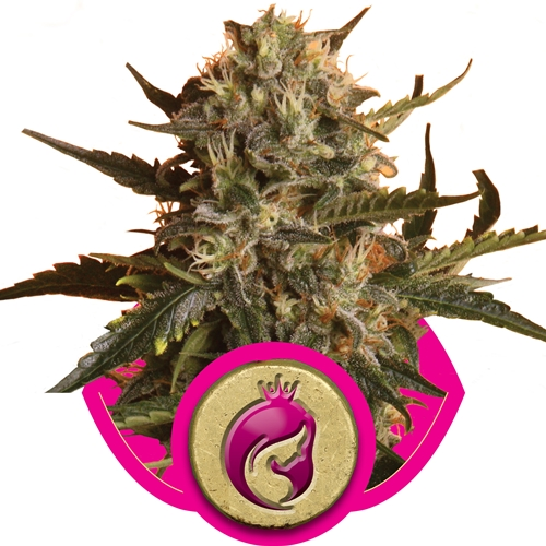Royal Queen Seeds Royal Madre Fem